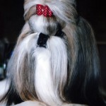 More Shih Tzu Grooming & Care Tips