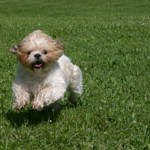 Shih Tzu Puppy Care – Aggression
